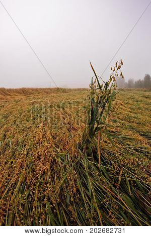 The heavy autumn rains have lodged the oat on a field in the Northern Finland. The heavy mist covers the land on a cold morning.