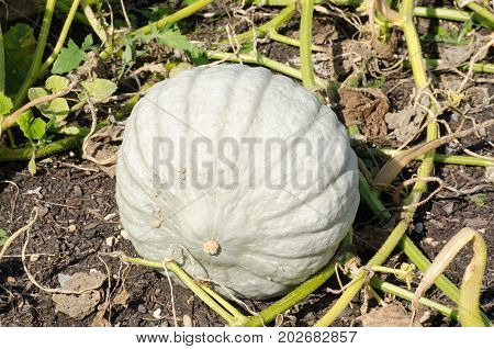 Large Pumpkin Growing outside in vegetable patch