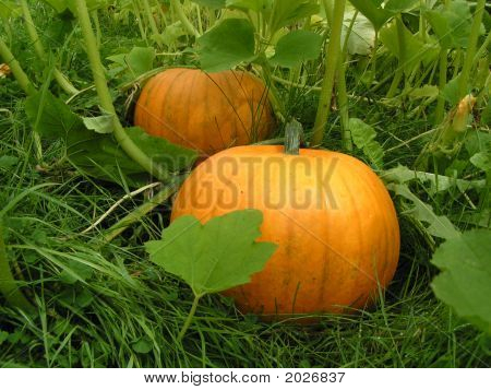 Halloween Pumpkins Growing In A Garden