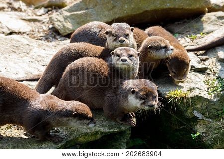 Family Of European Otter (lutra Lutra)