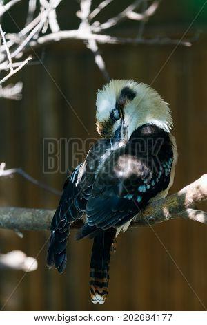 Bird Laughing Kookaburra (dacelo Novaeguineae)
