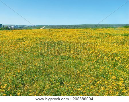 FROM CAPE TOWN, SOUTH AFRICA, A FIELD OF YELLOW SPRING FLOWERS