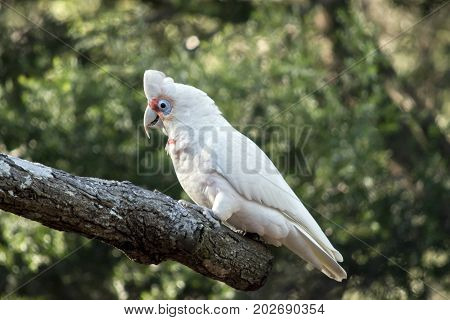 this is a side view of a long beaked corella