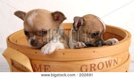 pair of chihauhau puppies looking over the side of a basket poster