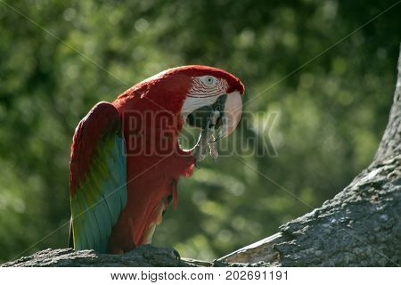the scarlet macaw is preening himself on a tree