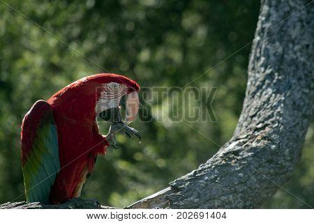 the scarlet macaw is preening himself in a tree