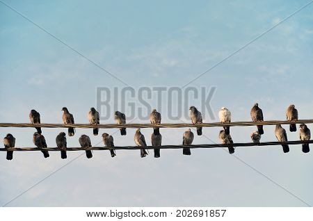 Many gray wild pigeons sitting on two electric wires. One pigeon is white. Empty space.
