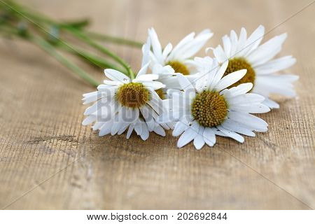 Few White camomiles on wood rustic background