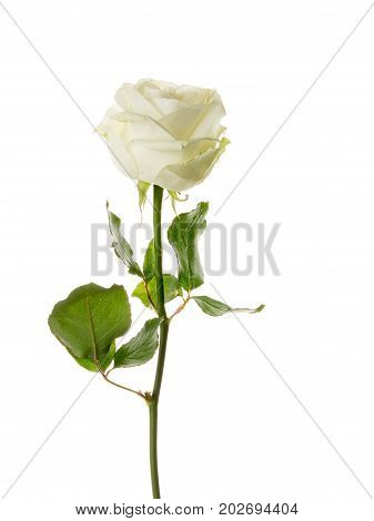 Unusual beautiful tender white rose on a thin stem on an isolated white background