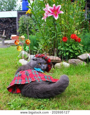 Gray Scottish fold cat dressed in national costume, red plaid skirt, purse, hat, dressed on the side, lying on the lawn amid the flower beds, Lily