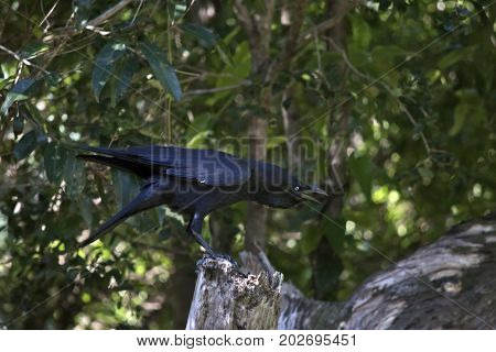 the Australian raven is perched on a log