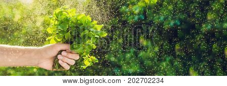 Banner Bunch Of Mint In Hand And A Splash Of Water Against The Green Background Long Format