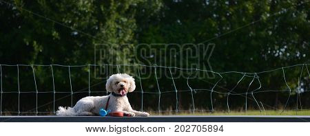 A dog, Bichon Frise, lies on the table, he has a leach on
