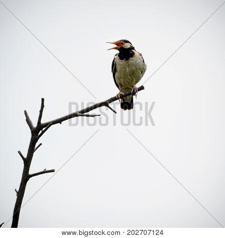 Pied myna or Asian pied starling, Gracupica contra perched on a tree branch