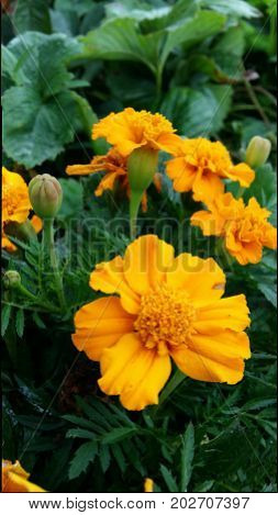 flower serenity marigolds orange garden annual sunny