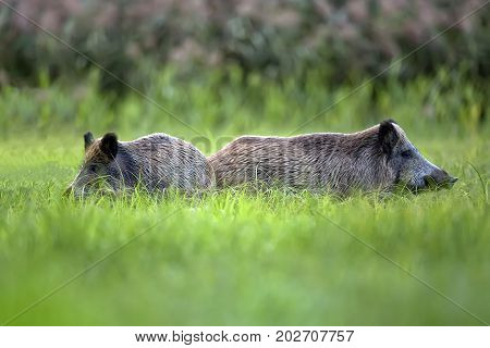 Wild boars in the grass, in the wild