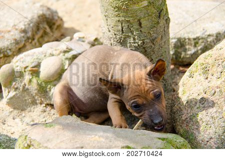 The Thai Ridgeback is nibbling wood on the stone in Thailand.