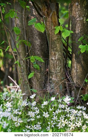 Glade with white stellaria flowers on a background of hazel bush. Vertical image