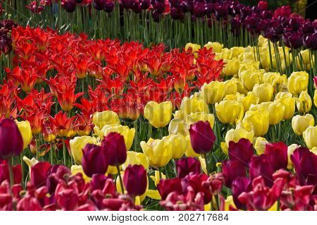 flowerbed with red yellow and purple tulips in the park