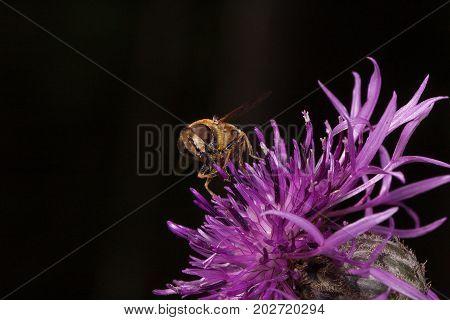Hoverfly is picking pollen from burdock flower. Wild animals.