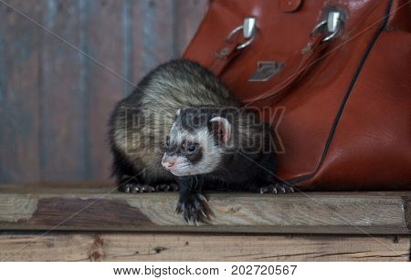 The ferret is sitting on a wooden table. Pet animals.