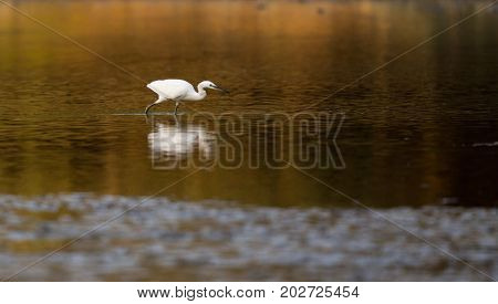 Little White Heron Standing In Water