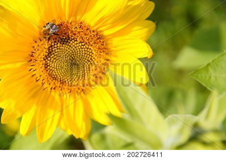 wild bees and bumblebee pollinating a sunflower closeup