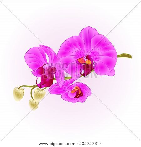 Orchid purple Phalaenopsis closeup stem with flowers and buds vintage vector editable illustration hand draw