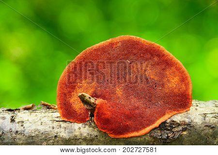 pycnoporus cinnabarinus mushroom on a tree trunk
