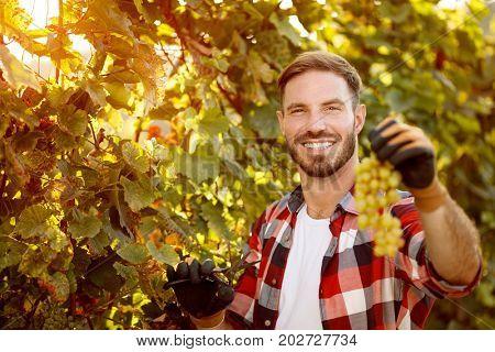 portrait of smiling farmer harvesting the grapes in vineyard