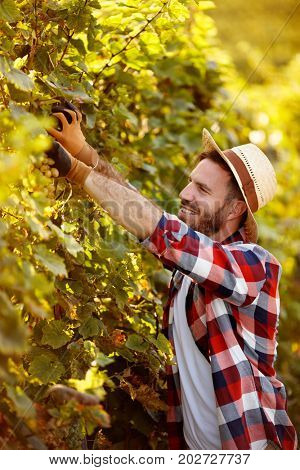 Grape harvest - smiling farmer working in vineyard