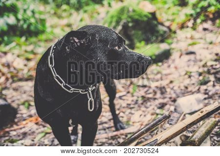 Portrait of Black mongrel dog standing to the left of the frame and head turning left, doggy standard size with brown and green background, Thai black dog wear chain around his neck turn head to left for look at something