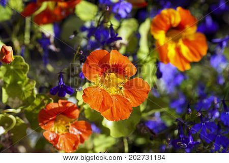 Colorful Flowers Of Nasturtium In The Sun, Macro