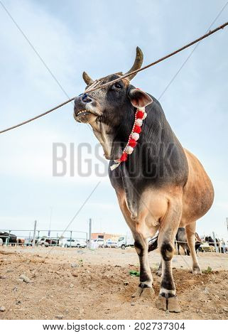 Bulls are tied as they await their turn to fight in traditional bull fighting in Fujairah, UAE