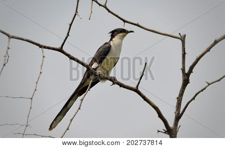 Jacobin cuckoo or pied crested cuckoo, Clamator jacobinus. Considered as harbinger of the monsoon rains in India