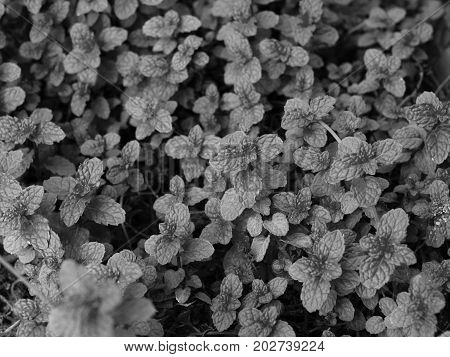 BLACK AND WHITE PHOTO OF MENTHA ARVENSIS CORN MINT, FIELD MINT OF WILD MINT
