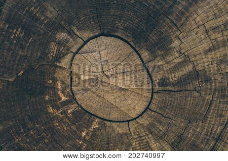 Wood texture and background. Cut tree trunk background in vintage style. Tree trunk close up. Macro view of cut tree trunk texture. Wood texture and background for graphic design.