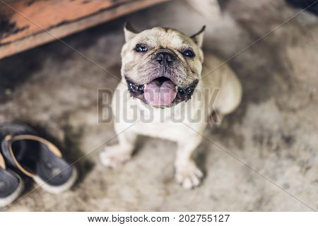 Happy brown french bulldog making funny face on grunge concrete floor friendly feeling