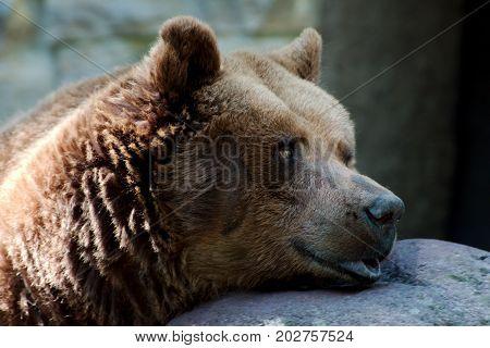 Sleepy single brown bear in a park