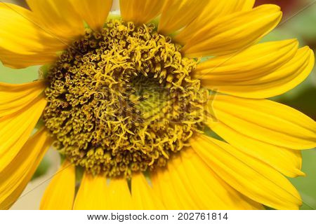 Close up of sun flower in the garden