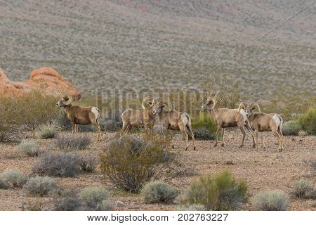a group of desert bighorn sheep rams in the Nevada desert