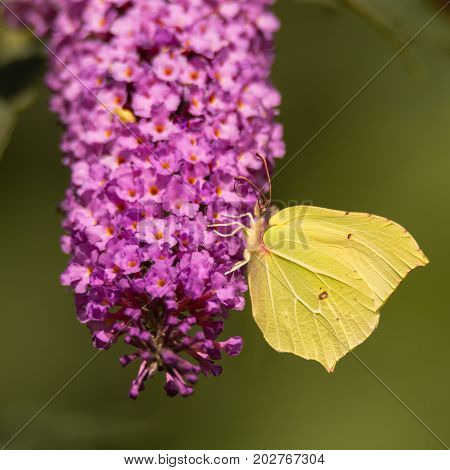 Brimstone (Gonepteryx rhamni) butterfly feeding on Buddleia. A male butterfly in the family Papilionidae nectaring on butterfly bush