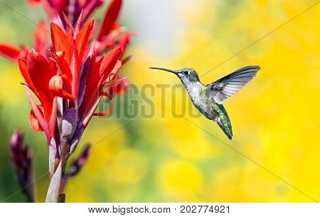 A tiny hummingbird visits a bright red cana flower in late summer with yellow sunflowers in the soft-focused background.