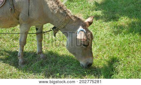 donkey a pet is grazing in meadow. Donkey pet