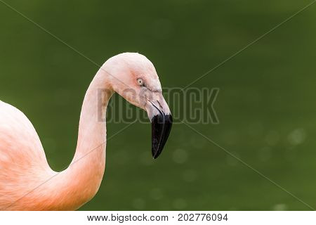 Chilean Flamingo On The Waters Edge