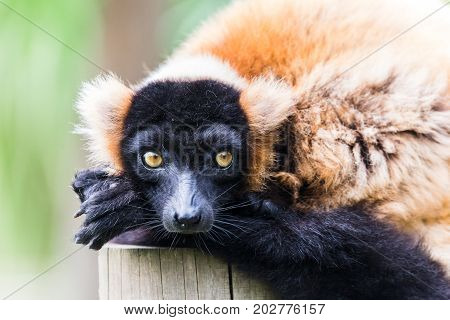 Red Ruffed Lemur Wakes From A Snooze