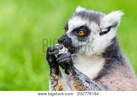 Ring-tailed Lemur Eating