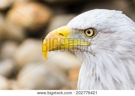 Side On Head Shot Of A Bald Eagle