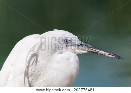 Little Egret By The Waters Edge