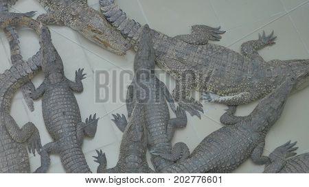 Many crocodiles lie on ground basking in the sun. Crocodile danger